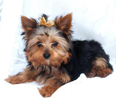 Yorkie Puppies on Welcome To Jozelle   S Yorkies